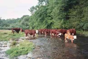 Farm cattle on the Rush River